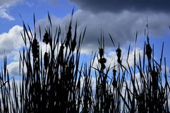 Beautiful grass silhouette against the sky with clouds stock photo