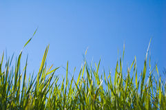 Beautiful Grass and Sky. Beautiful clean image of grass and sky, perfect for any deign, enjoy Royalty Free Stock Photography