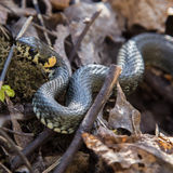 A beautiful grass snake in last years autumn leaves Stock Images