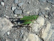 Beautiful grasshopper in the french alps mountain. Stock Images