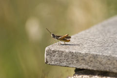 Beautiful Grasshopper Royalty Free Stock Images