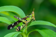 Beautiful grasshopper. Royalty Free Stock Images