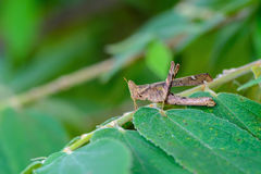 Beautiful grasshopper. Royalty Free Stock Photography