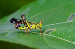 Beautiful grasshopper. Monkey grasshopper or Erianthus versicolor Brunner, beautiful grasshopper on leaves with green background Stock Photo
