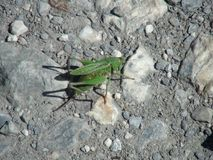 Beautiful grasshopper in the french alps mountain. Stock Photography