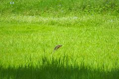 In a grassy-green field, lays a hidden monitor lizard threat, with only its head appearing. In a beautiful, grassy-green field, lays a hidden monitor lizard royalty free stock image