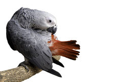 Beautiful Gray African Parrot cleaning feathers The smartest bi Stock Photos