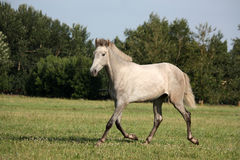 Beautiful gray andalusian colt (young horse) trotting free Stock Photo