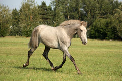 Beautiful gray andalusian colt (young horse) trotting free Stock Photography