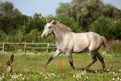 Beautiful gray andalusian colt (young horse) trotting free Stock Image