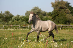 Beautiful gray andalusian colt (young horse) trotting free Stock Photos