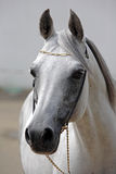 Beautiful gray Arabian horse against the stable Royalty Free Stock Images