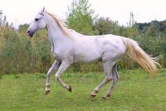 Beautiful gray arabian mare galloping on pasture Stock Image