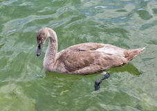 Beautiful gray baby swan floating on water closeup Royalty Free Stock Photo