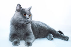 Beautiful Gray British cat Royalty Free Stock Photos