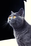 Beautiful gray British cat Stock Photography
