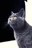 Beautiful gray British cat Stock Photography