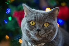 Beautiful gray British shorthair cat face in a silver collar on the background of the Christmas tree with bokeh lights stock photo