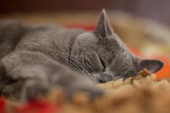 Beautiful gray British shorthair cat sleeping. Beautiful gray British shorthair cat boy sleeping on the bed. Close Royalty Free Stock Images
