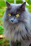Beautiful gray cat. With yellow eyes Stock Photo