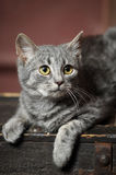 Beautiful gray cat Royalty Free Stock Photography