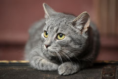 Beautiful gray cat Royalty Free Stock Photo
