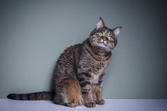 Cat with expressive eyes. Beautiful gray cat with expressive green eyes looks into the camera royalty free stock image