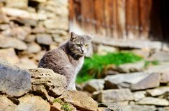 Gray Cat Sitting on the Sun. Beautiful Gray Cat with green eyes  standing outdoor Stock Images