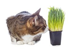 Beautiful gray cat and green grass Royalty Free Stock Photos