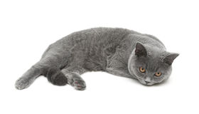 Beautiful gray cat isolated on white background. Stock Photography