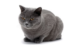 Beautiful gray cat isolated on white background Royalty Free Stock Photography