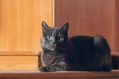 Beautiful gray cat lies on the floor.  royalty free stock photo