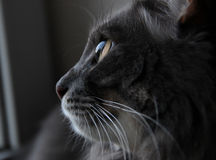 Beautiful gray cat looking out the window Royalty Free Stock Photography