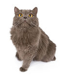Beautiful Gray Cat Looking Up Stock Photography