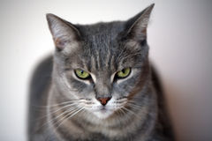 Beautiful gray cat Stock Photos