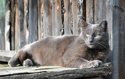 Beautiful gray cat lying on background wooden fence. Beautiful gray cat lying on a background of wooden fence Sunny day Royalty Free Stock Photos