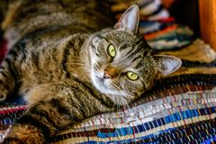 Beautiful gray cat lying on carpet. Arrogant short-haired domestic beautiful tabby cat lying on the fluffy striped carpet. Pet care and animals concept royalty free stock images