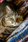 Beautiful gray cat lying on carpet. Arrogant short-haired domestic beautiful tabby cat lying on the fluffy striped carpet. Pet care and animals concept stock image