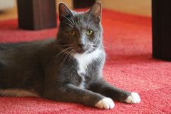 Cat portrait on a red carpet royalty free stock photography