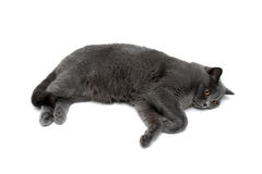 Beautiful gray cat lying on a white background Royalty Free Stock Photo