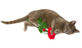 Beautiful gray cat with red rose Stock Photos