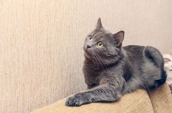 Beautiful gray cat resting on the back of the sofa.  stock photography
