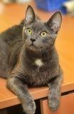 Beautiful gray cat Royalty Free Stock Photography