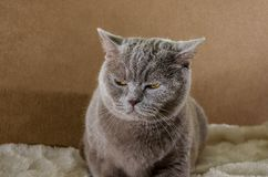 Beautiful, gray cat of scottish breed in on a blue background. Gray cat of scottish breed in on a blue background royalty free stock photography