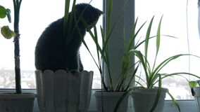 Beautiful gray cat sits on a window sill in a flowerpot surrounded by green plants. A beautiful gray cat sits on a window sill in a flowerpot surrounded by green stock video footage