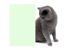 Beautiful gray cat sitting at the banner. white background. Royalty Free Stock Image