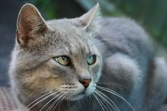 Gray big cat with green eyes sitting on the street Royalty Free Stock Photos