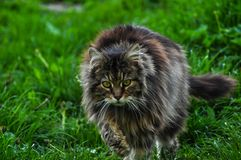 Beautiful gray cat walking on green grass.Gray cat.Domestic animal.Outdoor stock photo
