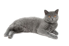 Beautiful gray cat on a white background Stock Photography