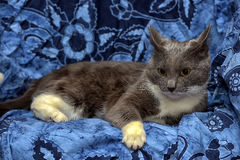A beautiful gray cat with white Royalty Free Stock Photo